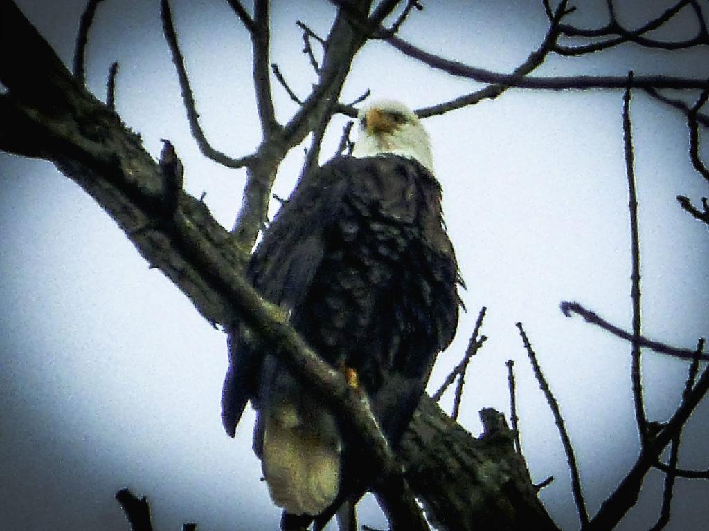 bald-eagle-2-1024×768[1]